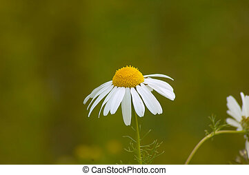 Daisey - Scottish Daisey,  Bellis perennis