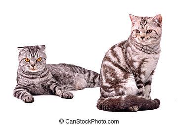 Scottish fold cat and kitten isolated