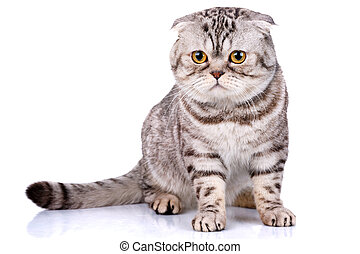 Scottish fold cat bicolor stripes on white background - cute...