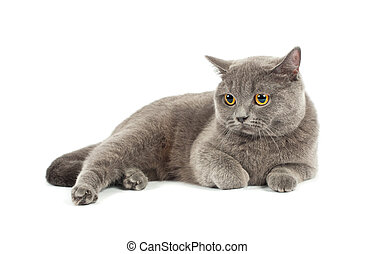 Scottish fold cat grey on white background
