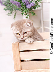 Scottish fold cat in a box under flowers.