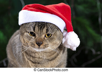 Scottish Fold cat in Santa Claus hat on a background of green spruce