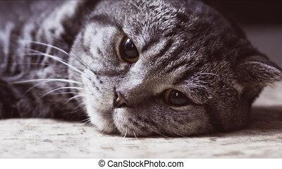Scottish Fold cat is sad on the floor.