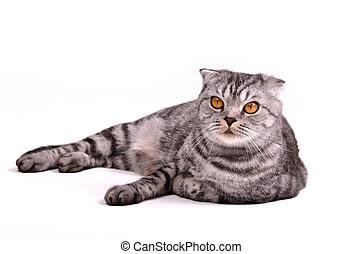 Scottish fold cat lying isolated