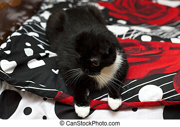 Scottish fold cat on a black and red bed