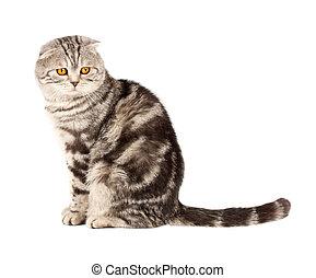Scottish fold cat - Portrait cat, scottish fold sort on...