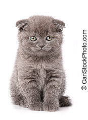 Scottish Fold Cat portrait isolated.