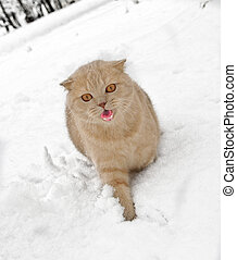 Scottish fold cat with open mouth walking on snow