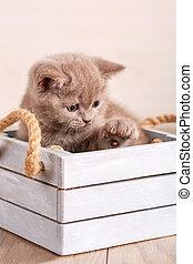 Scottish Fold Cat sitting in a wooden box