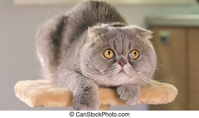 Scottish Fold cat is lying on the stand and goggles around