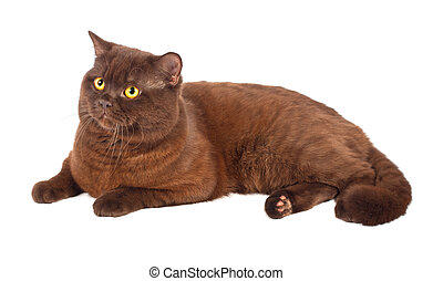 Scottish fold Chocolate cat