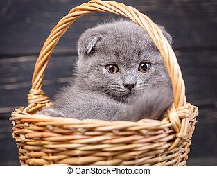 Scottish fold kitten. A puffy kitten sitting in a basket