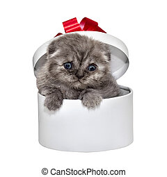 Scottish Fold kitten breed and white gift box
