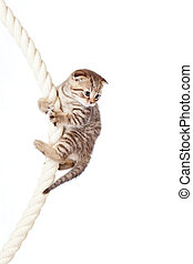 Scottish fold kitten climbing on rope isolated on white...