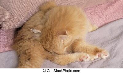 Scottish fold kitten everyday routine