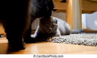 Scottish fold kitten getts groomed by a big black maine coon