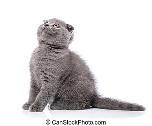 Scottish fold kitten isolated on a white background. Gray cat sits sideways