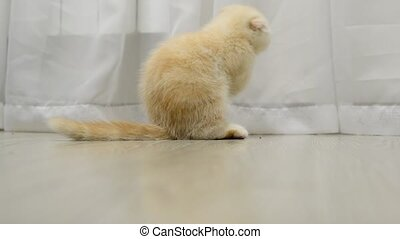 Scottish Fold kitten licking  fur