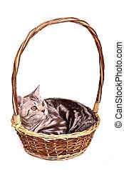 Scottish fold kitten lying in a basket isolated