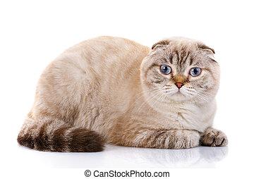 Scottish Fold kitten lying isolated