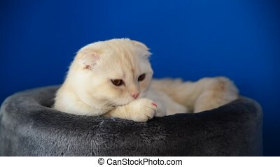 Scottish Fold kitten lying on  couch and licks the fur