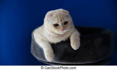 Scottish Fold kitten lying on  couch