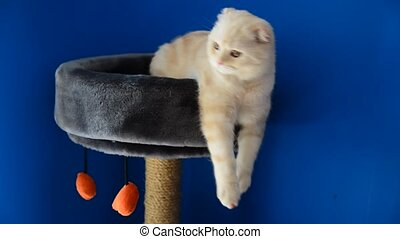 Scottish Fold kitten lying on  couch with scratching post