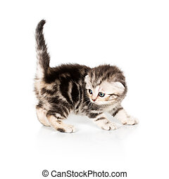 Scottish Fold kitten on white