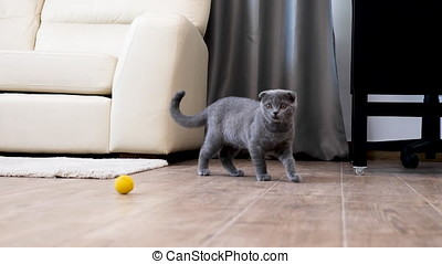 Scottish fold kitten playing in the house with an yellow...