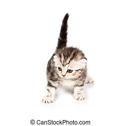 Scottish Fold kitten with reflection on white