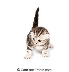 Scottish Fold kitten with reflection on white