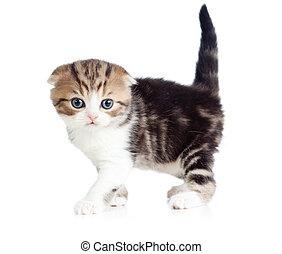 Scottish fold little baby cat