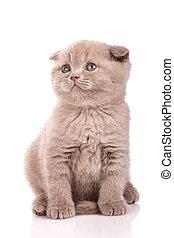 Scottish Fold small cute kitten