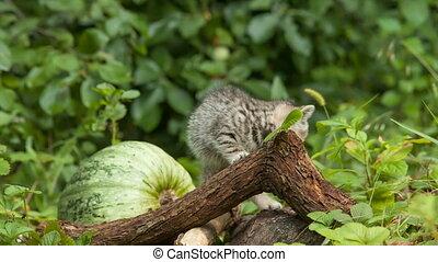 scottish fold young kitten seats