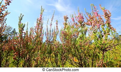 Scottish heather on a bog - heather thickets close up in the...