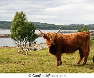 Scottish High land cattle