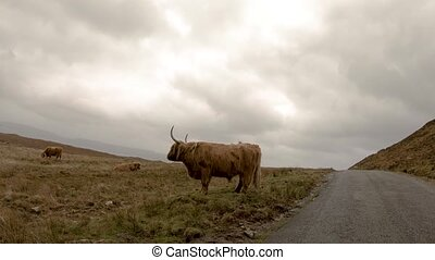 Scottish highland cattle next to single track road on the ...