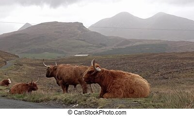Scottish highland cattle next to single track road on the...