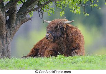 Scottish highland cow Highland cattle