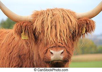 cow - Scottish Highland cow