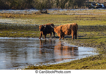 Scottish highland cows at the field at sunny winterday. Cows...
