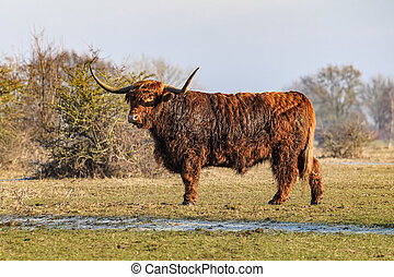 Scottish highland cows at the field at sunny winterday -...