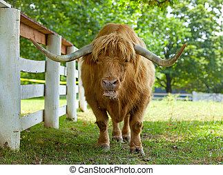 Scottish highlander ox - Closeup portrait of a Scottish ...