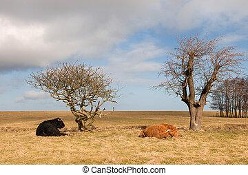Scottish higlanders