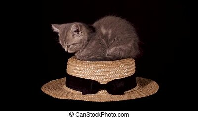 Two-month-old Scottish Straight kitten on a black isolated background. The cat sits on a straw hat and falls asleep. Shooting from a tripod in 4K close up