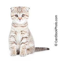 Scottish kitten fold isolated