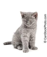 Scottish Kitty - small british kitten on the white ...
