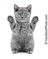 Scottish Kitty - small british kitten on the white...