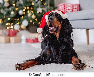 Scottish setter dog in santa hat