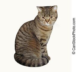 Scottish Straight cat 1